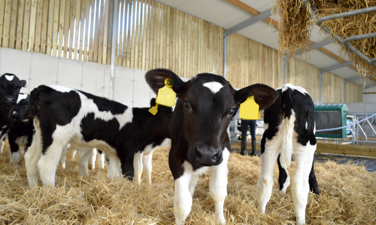 '20 minutes, morning and evening, now looks after the calves – we save 21 hours every week'