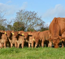 What's involved with embryo transfer in cattle?