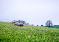 Achieving maximum utilisation of forage crops with sheep