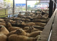 Sheep trade: Strong demand sees prices top €6.50-6.60/kg