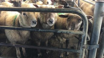 Sheep trade: Factories 'up to their old tricks' as prices head in the opposite direction