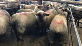 Hoggets easier by €8/head at Ennis Mart; steady trade seen at Kilkenny