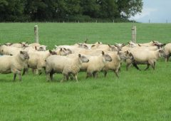 Technology to improve your sheep business