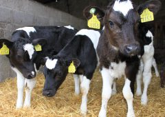 Why choosing the right milk replacer is of critical importance to your calf