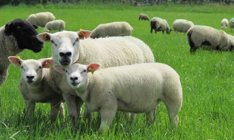 Reduce labour at lambing time