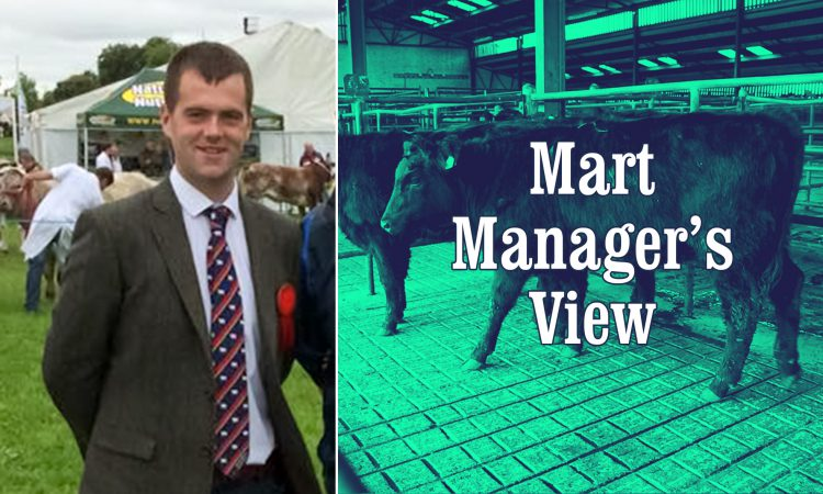 'Flying trade' for in-calf dairy cows at Mid-Tipp Mart