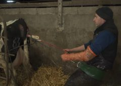 Video: Back injury inspires dairy farmer to invent calving assist
