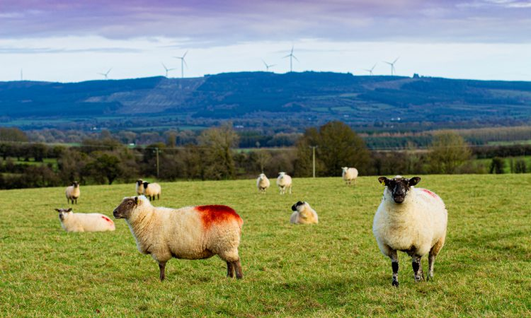 Advice for a new entrant to sheep farming