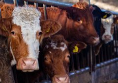 Throughput of beef cattle processed forecasted to decline in 2021