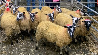 Sheep mart trade review 2020: Breeding sheep and store lambs catch the eye
