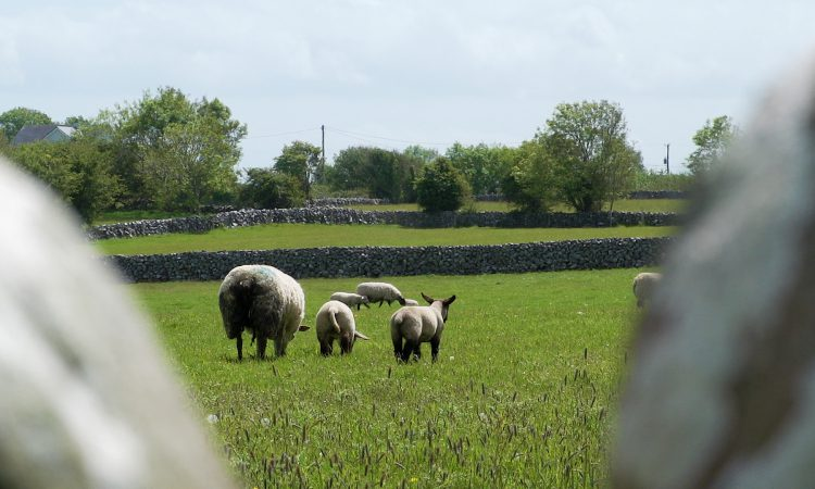 First of 2 virtual Teagasc Sheep Conferences taking place tomorrow