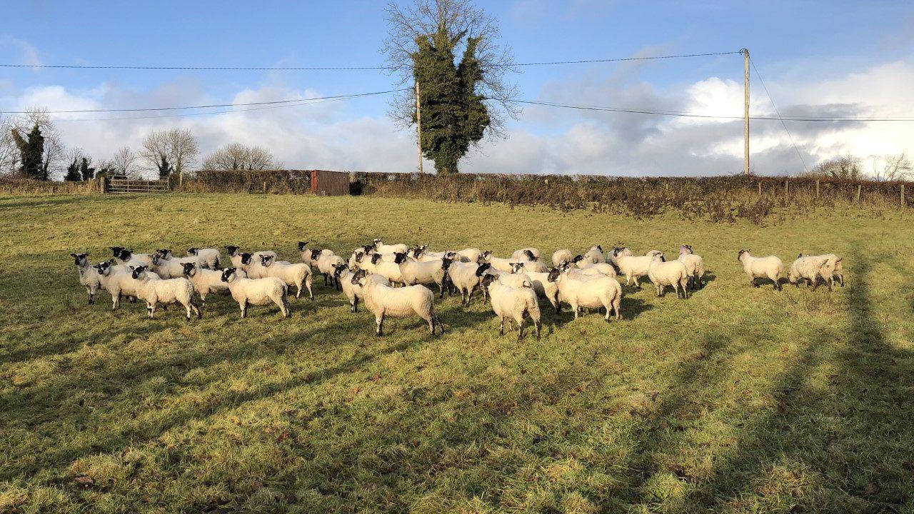 Processor importing lamb slammed by IFA