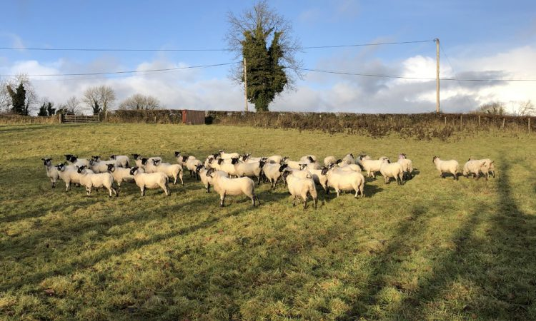 Sheep management: Fluke control at this stage of the season