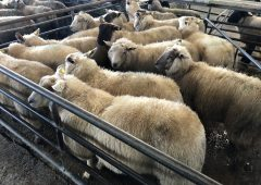 Pics from the mart: Hoggets top out €140/head at Loughrea