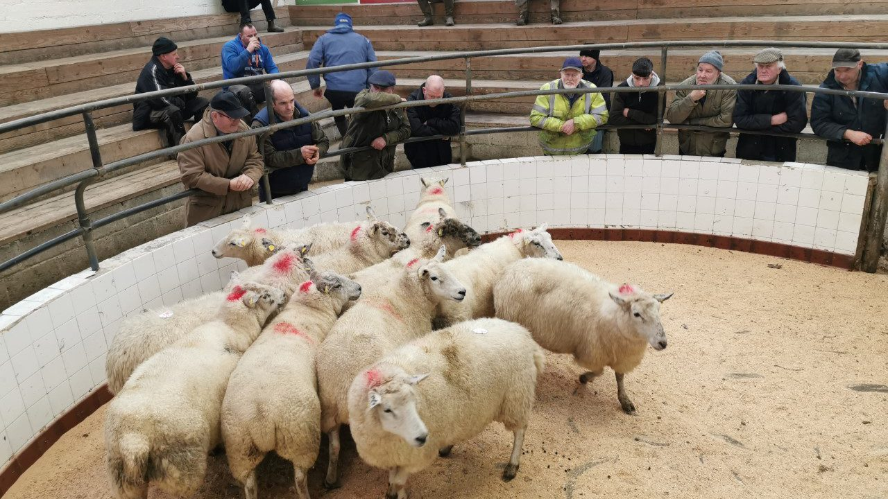Baltinglass sheep sale postponed; Mountbellew sheep sale going ahead