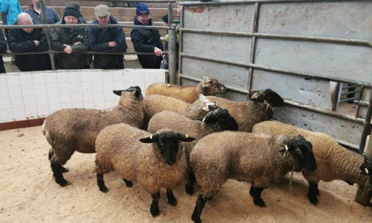 Sheep prices: Highs of €155-159/head recorded as trade notches up a gear again