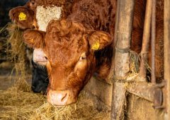 Beef prices strengthen again in Northern Ireland