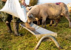 The importance of energy and protein in the diet of ewes pre-lambing