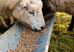 What should I be looking out for when buying concentrates for in-lamb ewes?