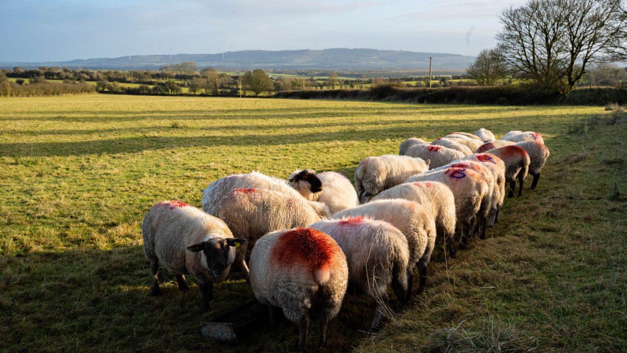Ewe nutrition in late pregnancy
