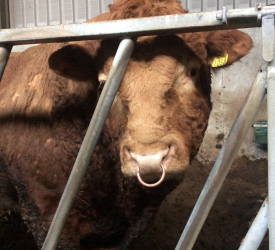 Changes to bull fertility insurance – breed societies face difficulty