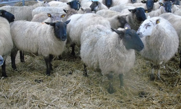 Dispersal sale of in-lamb ewes taking place tomorrow at Dowra Mart