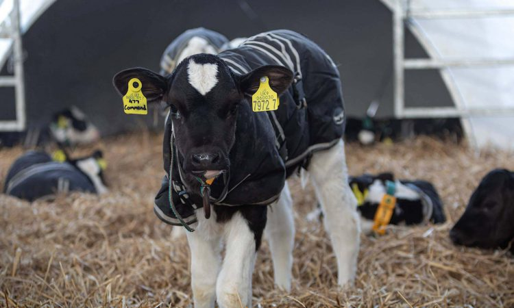 Accelerated milk replacer rates will boost calves' life-long milking ability