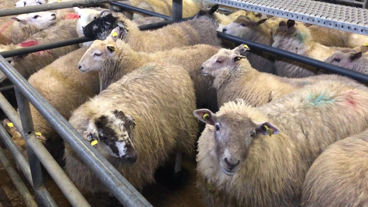 58kg hoggets hit €164/head at Corrin Mart on Monday