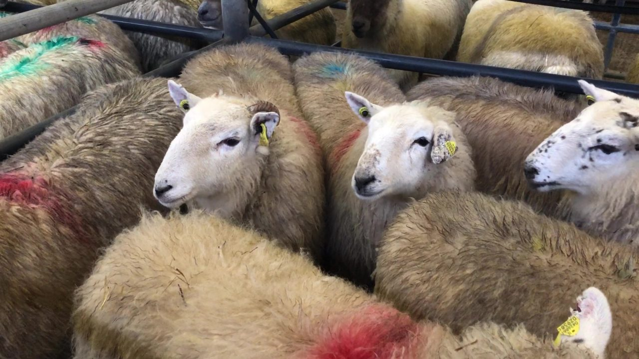 'Prices for hoggets are up on €6.90/kg, with €7.00/kg just around the corner'