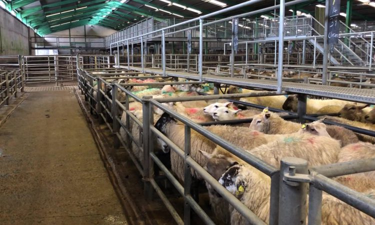 Sheep marts: Most point to a steady trade
