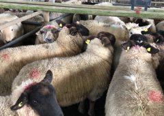 Carrigallen Mart羊销售贸易中看到的轻微改善