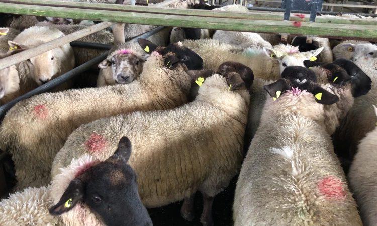 Slight improvement seen in the trade at Carrigallen Mart's sheep sale