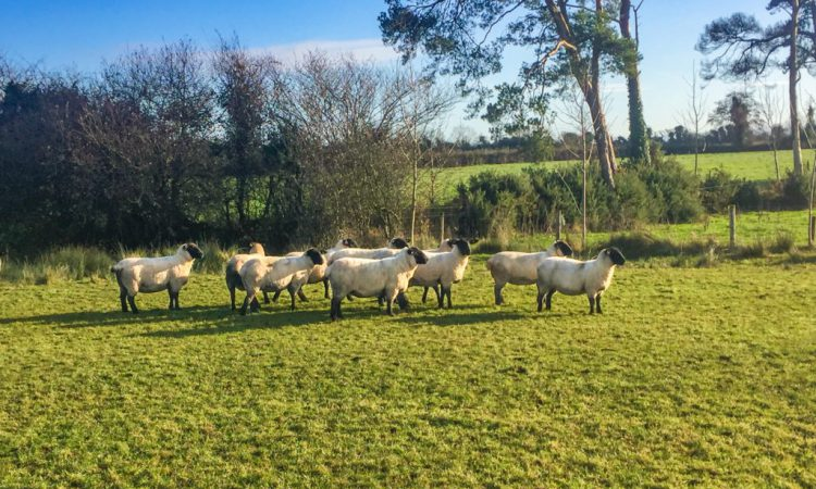 'Fines of€100 are doing nothing to deter incidents of sheep worrying'