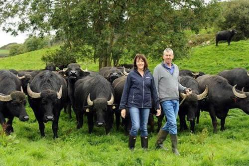 Macroom mozzarella: Pasture grazing buffalo in Co. Cork