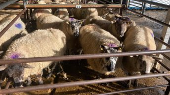 Dispersal sale of in-lamb ewes at Dowra sell up to €245/head