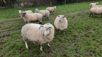 Dispersal sale of 150-ewe flock at Tullow make up to €230/head