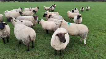 Dispersal sale of 150 in-lamb ewes set to take place this Tuesday at Tullow Mart