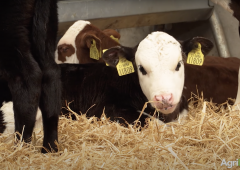What questions should you be asking when sourcing calves off-farm?