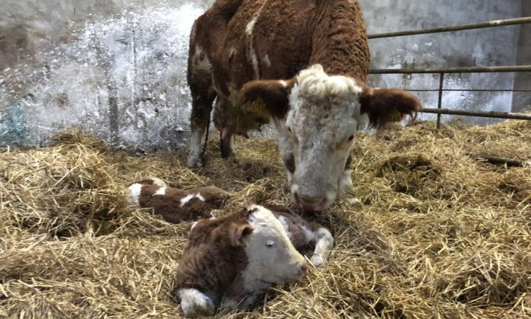 Dealing with retained placenta and infections after calving