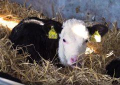小牛展 - 第1集:为小牛的到来准备你的农场