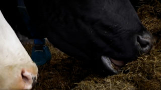 The Calf Show – Monday:  Preparing your farm for the arrival of calves