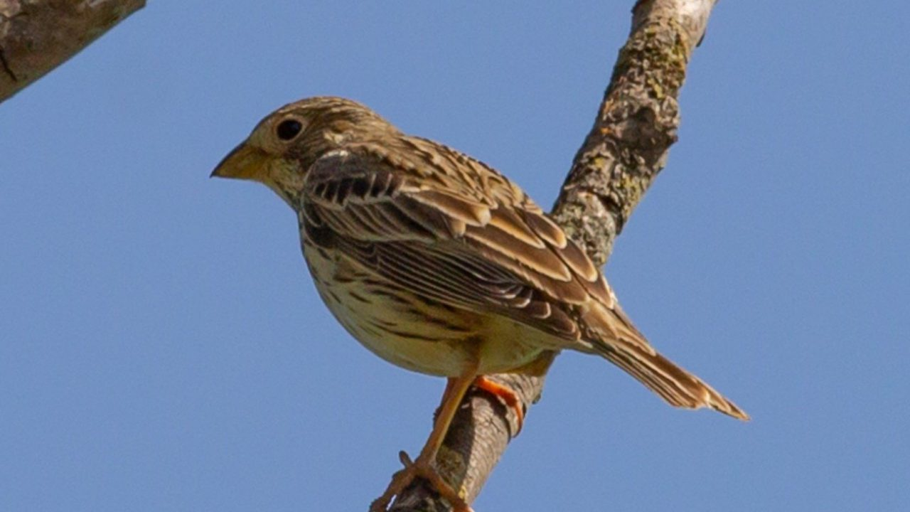 'Far from controversial': Corn Bunting reintroduction spoken about 'gently' in conservation circles