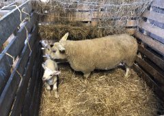 Hygiene: Getting the basics right this lambing season