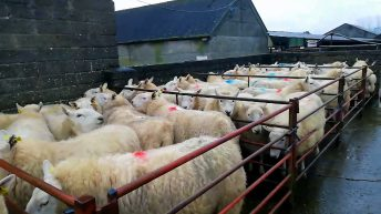 Clearance sale of Cheviot ewes sell up to €340/head at Tullow Mart
