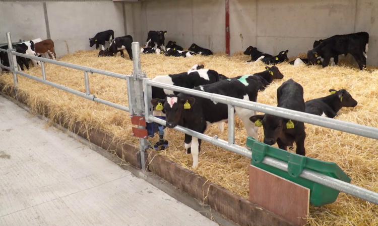 Calf Health Series: What should I try to achieve in calf housing?