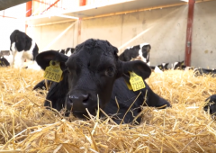 Episode 3 of 'The Calf Show' series is now live – Calf health and vaccinations