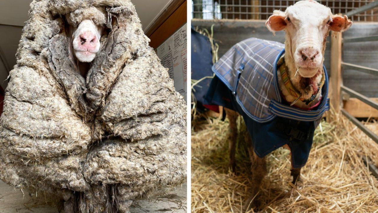 Rescued wild sheep in Australia is shorn of its 35kg fleece