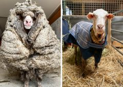 Rescued wild sheep in Australia is shorn of its 35kg fleece