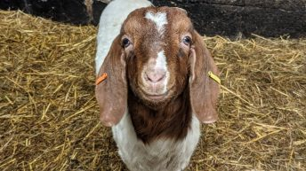 No kidding: Farm makes €56,000 offering 'virtual goats' for video calls