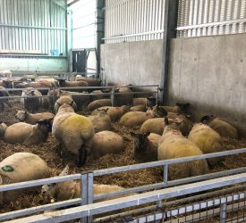 BCS of ewes at lambing: What should I be targeting?